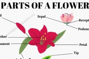 Parts of A Flower: Different Parts of A Flower & A Leaf in English 10