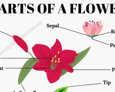 Parts of A Flower: Different Parts of A Flower & A Leaf in English 6