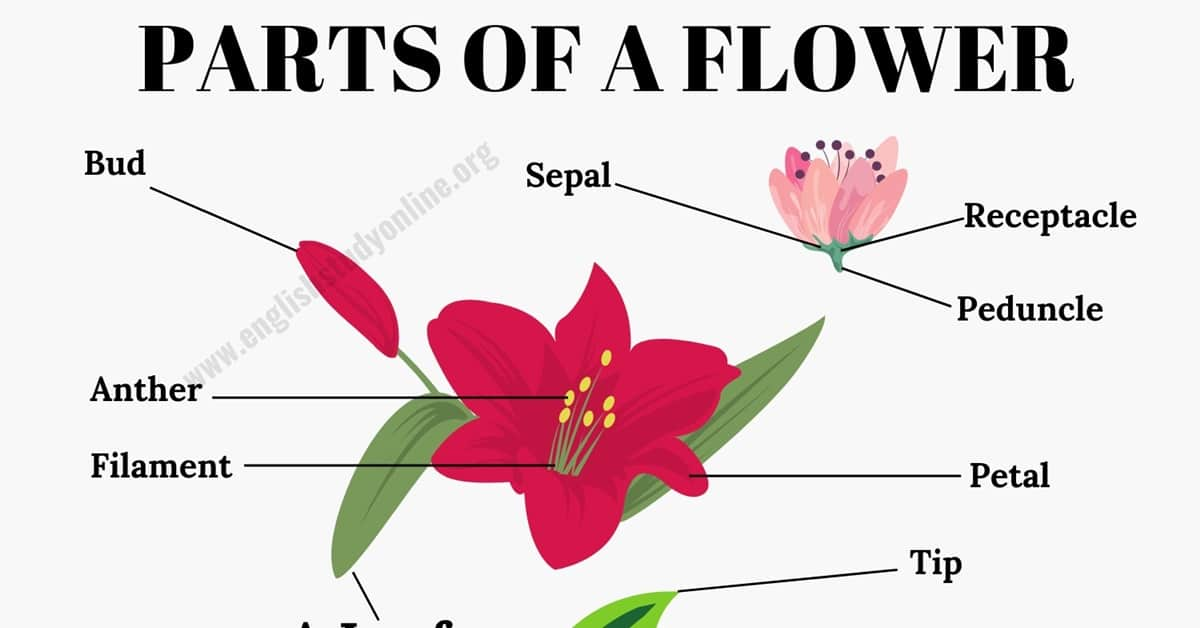 Parts of A Flower: Different Parts of A Flower & A Leaf in English 1