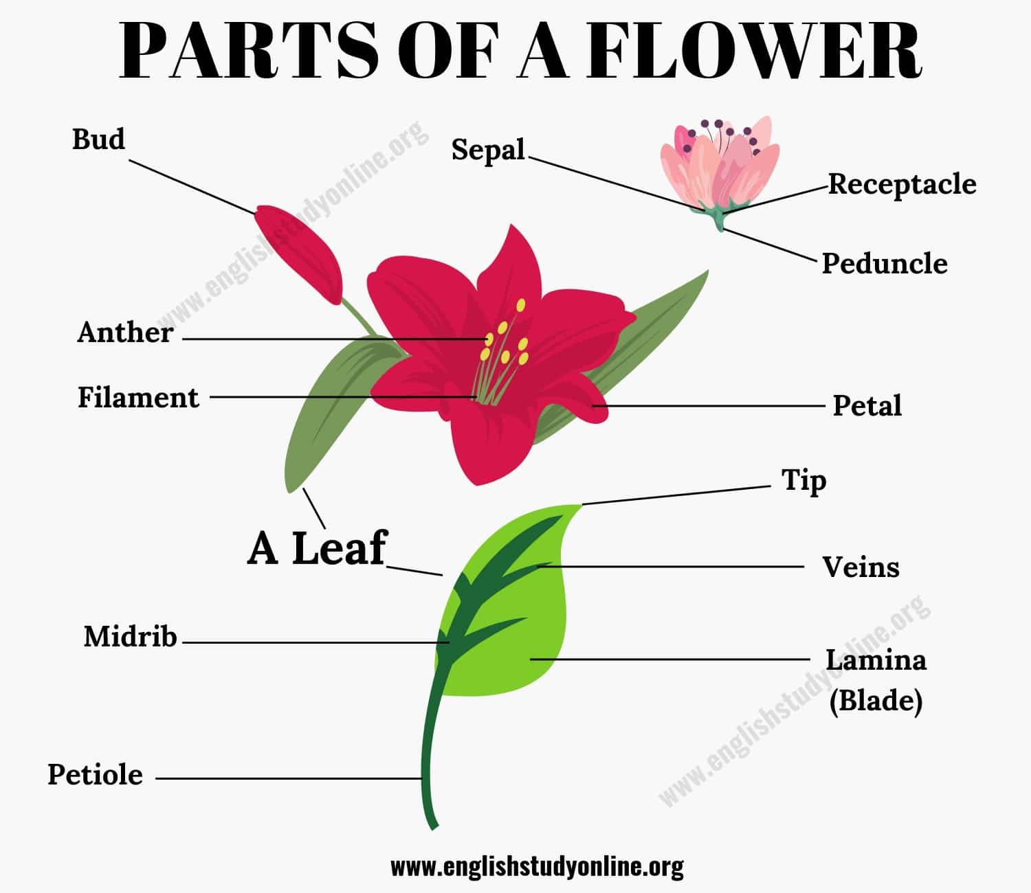 Parts of A Flower: Different Parts of A Flower & A Leaf in English 2