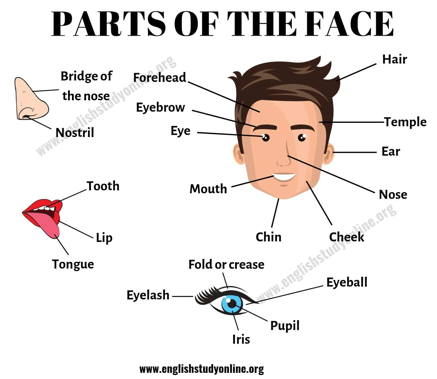 Parts of the Face: List of Useful Face Parts Vocabulary in English 2